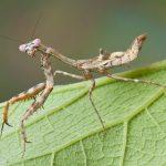 カマキリの昆虫の中でも最強クラスに入る昆虫なの?