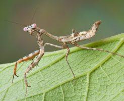 昆虫 最強 カマキリ