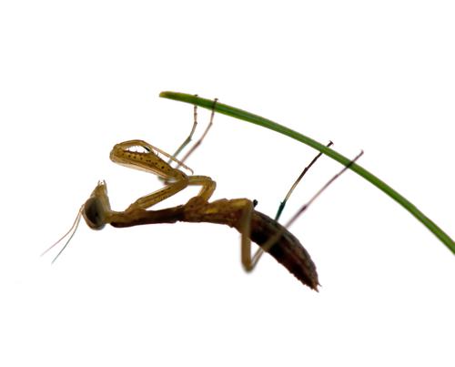 カマキリ 幼虫 共食い