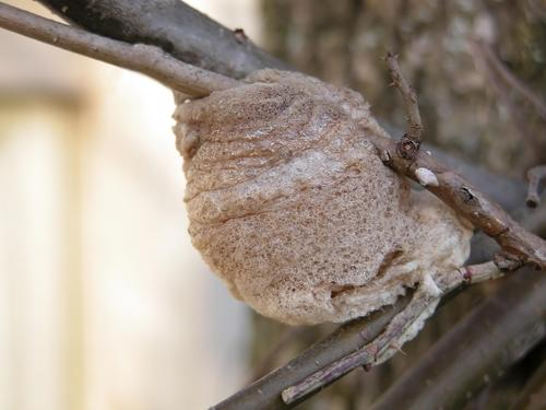 カマキリ 卵 泡 孵化 はがし方 駆除