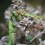 カマキリの幼虫と成虫の冬越しはできる?