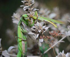 カマキリ 成虫 幼虫 冬越し