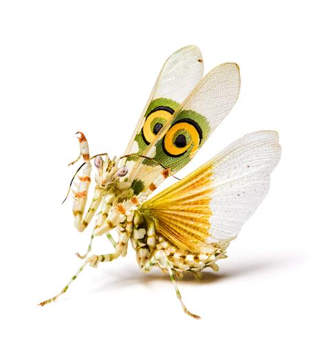 カマキリ 卵 幼虫 脱皮 大きさ