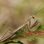 カマキリのオスとメスの見分け方!幼虫でもオスとメスがわかるの?成虫のメスは卵を産む産卵管で見分けることができる