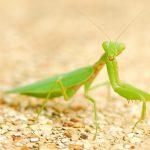 カマキリの幼虫が成虫へ脱皮する時期は?脱皮直後の体や羽はいちばん脆い!触らずにそっとしてあげよう!
