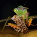ハリガネムシがカマキリに寄生する理由