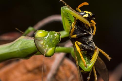 カマキリ ハリガネムシ 猫 食べる