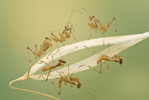カマキリ 赤ちゃん 幼虫 季節