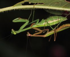 カマキリ 羽化 産卵 孵化 幼虫 期間