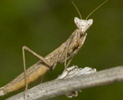 カマキリ 幼虫 黒 種類