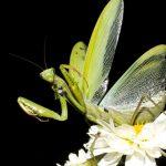 カマキリが成虫なのか幼虫なのか違いはあるの?