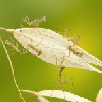カマキリの卵や幼虫の天敵はどんな生物?