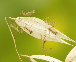 カマキリ 卵 幼虫 天敵