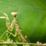 カマキリに似ている虫ってどんな虫?